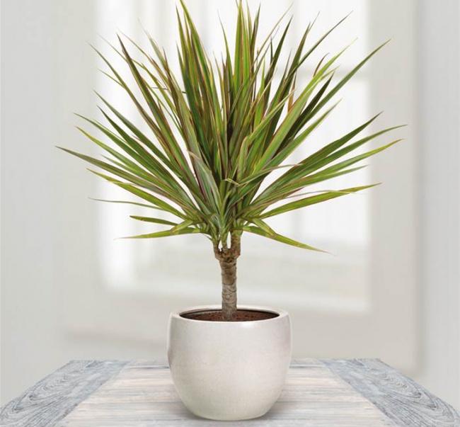 8 loại cây dễ sống trong điều kiện ít ánh sáng của văn phòng làm việc-3